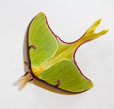 LUNA MOTH cocoon saturnid moth FREE SHIPPING best deal on ebay