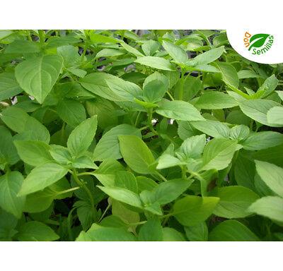 Albahaca Limón ( 1.000 semillas ) seeds - Ocimum basilicum Lemon Limon...