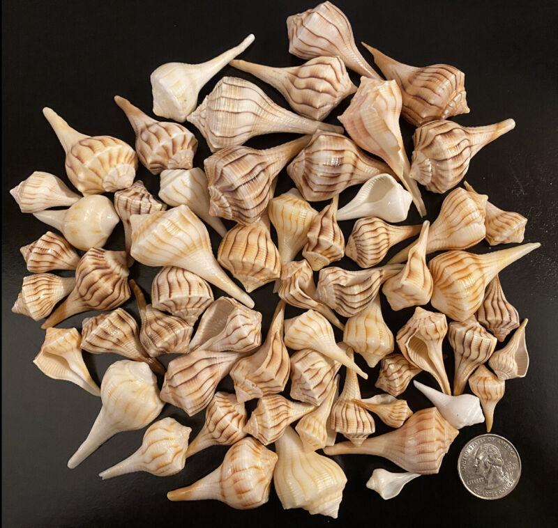 15 Small Lightning Whelks From Sanibel