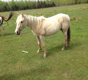 Pouliche Quater Horse  palomino