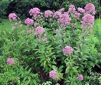Joe Pye Weed- (Eupatorium Maculatum)- 200 Seeds (Joe Weed)