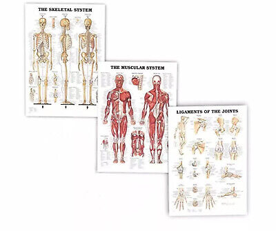 Human Body Anatomy 3 Poster 17x24 Muscular Skeletal Ligament. New.