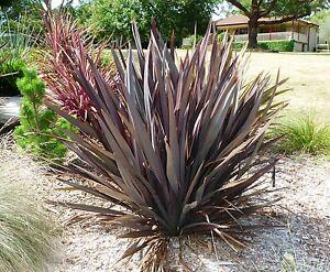 Phormium tenax Purpureum  in 9cm pot