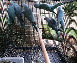 Baby Blue Indian Ringneck Parrots Liverpool Liverpool Area Preview