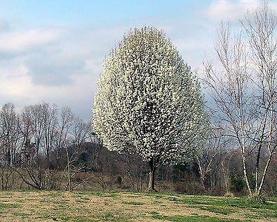 Pyrus Calleryana Flowering Pear Tree Seeds