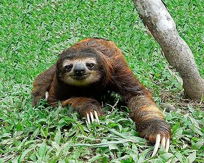 Sloth / Sloths 8 x 10 GLOSSY Photo Picture IMAGE #2