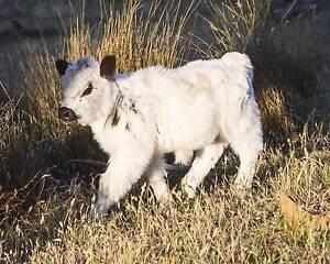 Rare White Miniature Cattle starter Herd, micro mini genetics Tallangatta Towong Area Preview