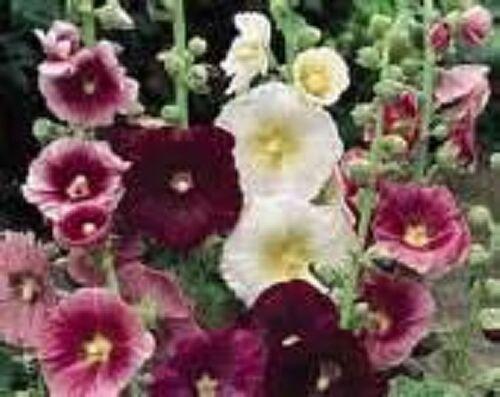 Hollyhock- Indian Spring Mix- 50 seeds- BOGO 50% off SALE