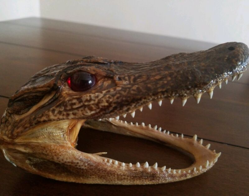 "Baby Alligator Crocodile Head Real Taxidermy Reptile 5 1/4"" Red eyes"