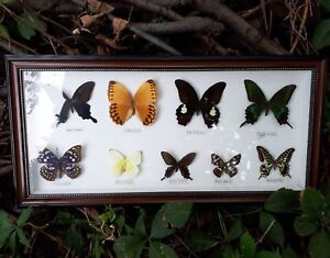 Butterfly Taxidermy Collection