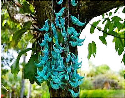 how to grow jade vine from seed
