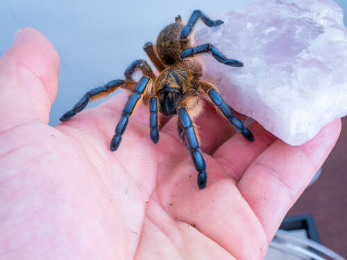 "Harpactira pulchripes Golden Blue Leg baboon Tarantula Africa 1"" specimen BEAUTY"