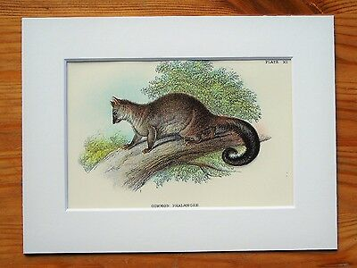 Common Phalanger - Mounted Antique Australian Marsupial Animal Victorian Print .