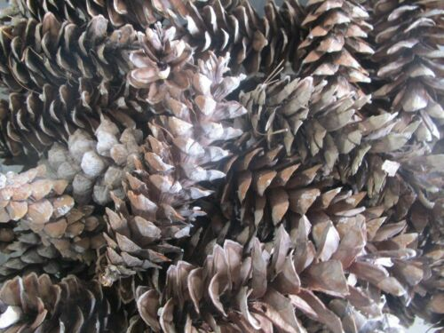 """100 BROWN MEDIUM TO LARGE PINECONES ~ 5"""" TO 7"""" Crafters Home Decor"""