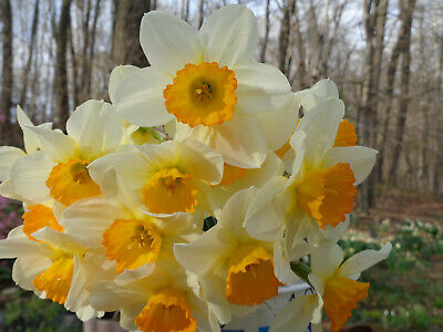 26 DAFFODILS 2 VARIETIES* jonquil narcissus plant root bulb FromMyGarden*PlsRead