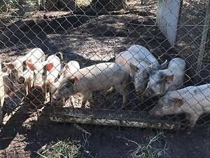 4 Month Old Piglets For Sale Humpty Doo Litchfield Area Preview