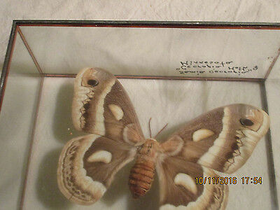 Mounted Cecropia Moth-Male-Glass Case-Beautiful
