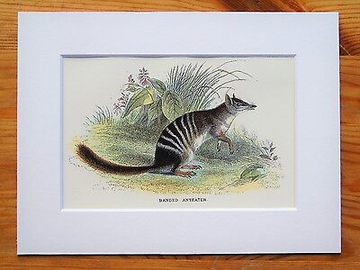 Banded Anteater - Mounted Antique Australian Marsupial Animal Victorian Print