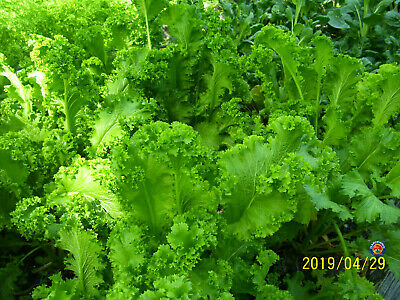 2000 Southern Giant Curled Mustard Greens Seeds Heirloom COMB S/H - Giant Comb