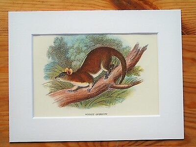 Woolly Opossum - Mounted Antique Australian Marsupial Animal Victorian Print