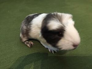 Guinea pig baby girl Toormina Coffs Harbour City Preview