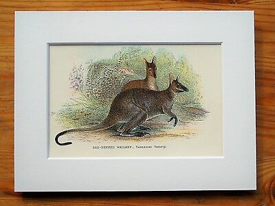 Red Wallaby - Mounted Antique Australian Marsupial Animal Victorian Print