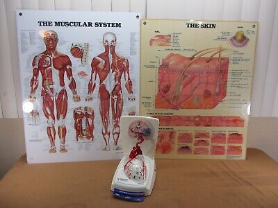 Vintage Medical Doctors Xarelto Model Heart 2 Diagram Muscles Skin Laminated