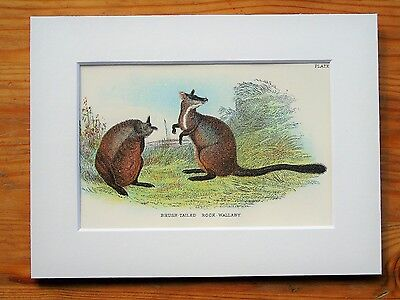 Rock Wallaby - Mounted Antique Australian Marsupial Animal Victorian Print