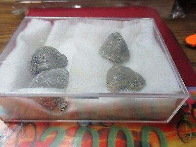 Fossils - Brachiopods L4