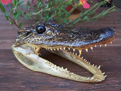 Big 5  Genuine Alligator Head Skull Taxidermy Real Teeth Jaw Reptile Swamp Gator