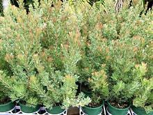 Wholly bush native grower direct plants for Perth shrub tree Darch Wanneroo Area Preview