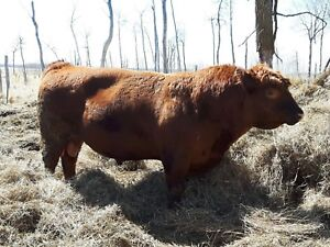Red Angus bull for sale