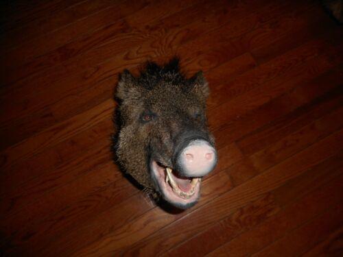 PIG HOG SHOULDER MOUNT TAXIDERMY