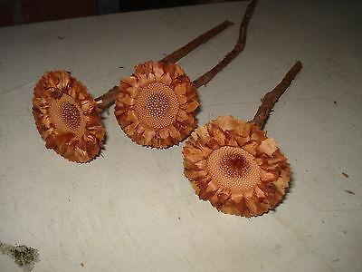 10 X  Protea coronata Rosette Südafrika Trockenblumen Allerheiligen