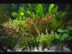aquarium wasserpflanzen pflanzen ebay. Black Bedroom Furniture Sets. Home Design Ideas