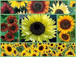 SENSATIONAL-SUNFLOWERS-FLOWER-GARDEN-SEEDS-5-PACK-SPECIAL-BRIGHTEN-YOUR-YARD