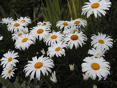 daisy, SHASTA, DWARF, perennial, white flower, 445 ...
