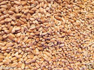 Weizen Futterweizen 25 kg Sack für Geflügel, Enten, Hühner, etc. Blitzversand