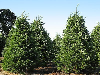 Balsam Fir, Abies balsamea, Tree Seeds (Fragrant ...