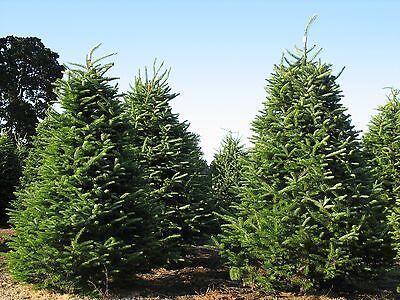 Balsam Fir, Abies balsamea, Tree Seeds (Fragrant ...