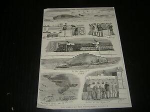 1800-INCISIONE-LA-BALENA-ALLACQUARIO-DI-WESTMINSTER-LONDRA