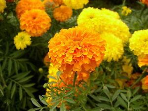 marigold, AFRICAN CRACKER JACK MIX, 425 seeds! GroCo