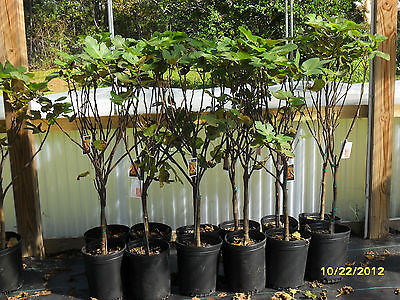 Brown Turkey, Celeste, L.S.U.Gold, L.S.U.Purple Fig Trees  5'-- 5 gallon size !! on Rummage