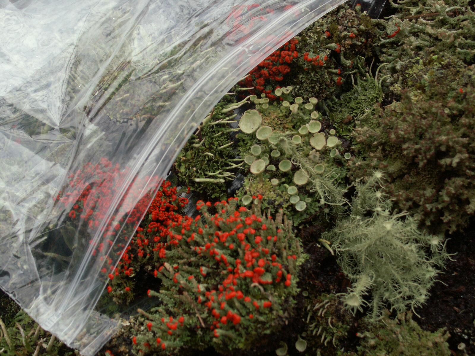 Large Terrarium Fairy Garden Mix British Soldier Pityrea Live Lichen Moss 1 Pint