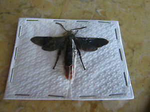Scoliidae-Species-Wasp-Insect