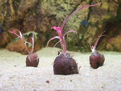 3 x Rote Tigerlotus-Knolle mit  Antrieben  (NYMPHAEA LOTUS) Wasserpflanzen