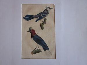 Gravure 19 me oiseau geai bleu huppe geai houpette ebay for Houpette oiseau