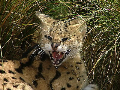 Serval / Wildcat 8 x 10 / 8x10 GLOSSY Photo Picture IMAGE #2