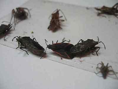 10 pk  Stink Bug Trap / ...