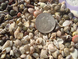 200 Mini Seashells Scrapbook Crafts Miniature Shell Tiny Lot Wedding Dollhouse